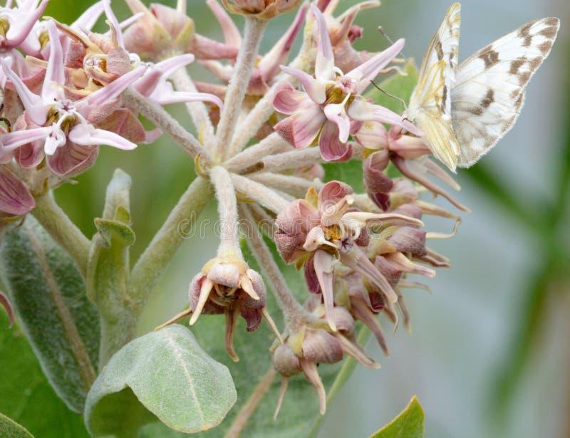 Karierter weißer Schmetterling auf Milkweedblume lizenzfreie stockfotos
