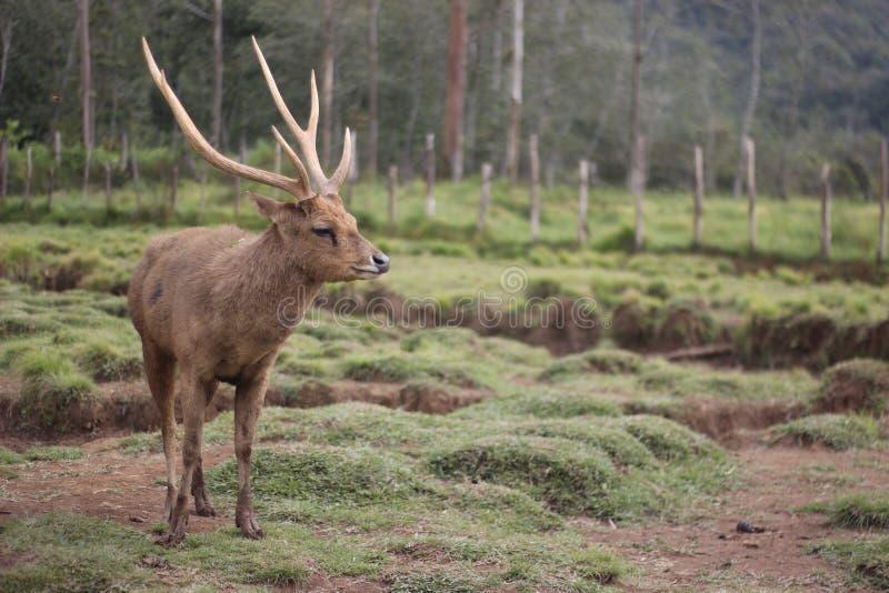 Karismatiska hjortar arkivfoto