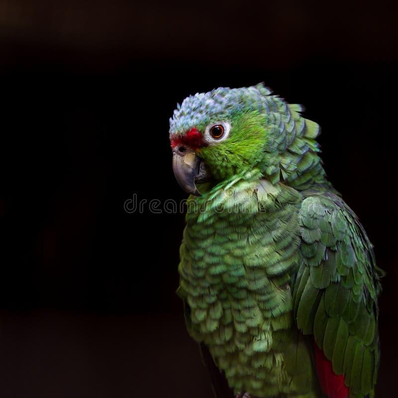 Karmazyn stać na czele Parakeet - Psittacara finschi obraz stock