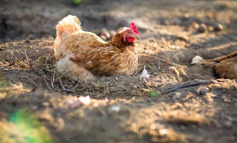 Download Karmazynka w farmyard zdjęcie stock. Obraz złożonej z belfer - 28963476