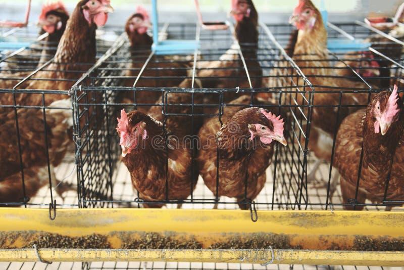 Karmazynka w klatki rolnictwie na kurczaka gospodarstwa rolnego jajku indoors obrazy stock