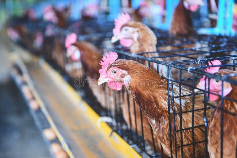 Karmazynka w klatki rolnictwie na kurczaka produkcie rolniczym z świeżym jajecznym kurczakiem indoors zdjęcia stock