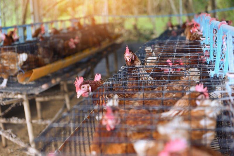 Karmazynka w klatki rolnictwie na kurczaka produktu rolniczego świeżym jajecznym kurczaku indoors zdjęcia stock