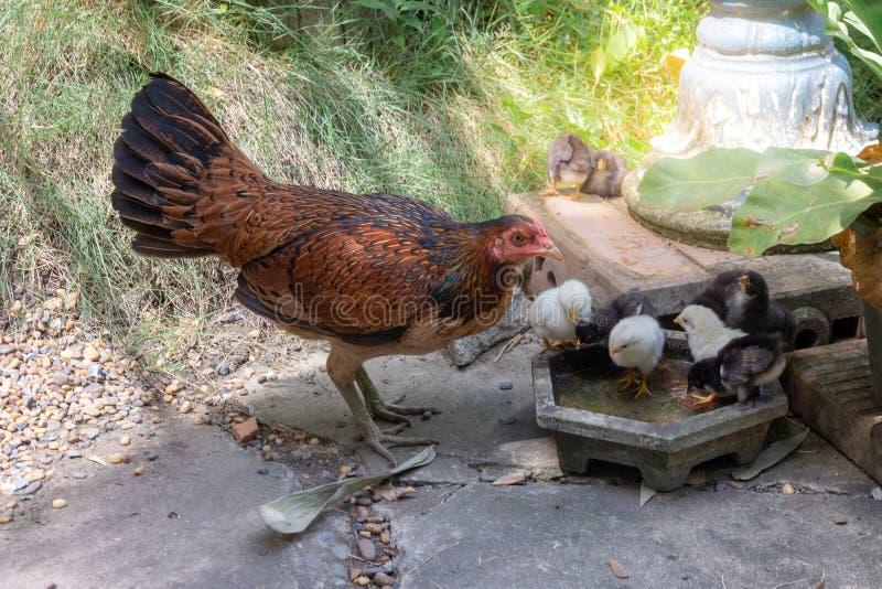 Karmazynka z dziecka kurczątkiem w ogródzie zdjęcia stock