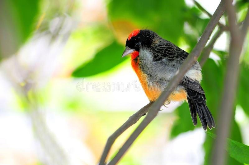 Karmazynu Finch ptak obrazy stock