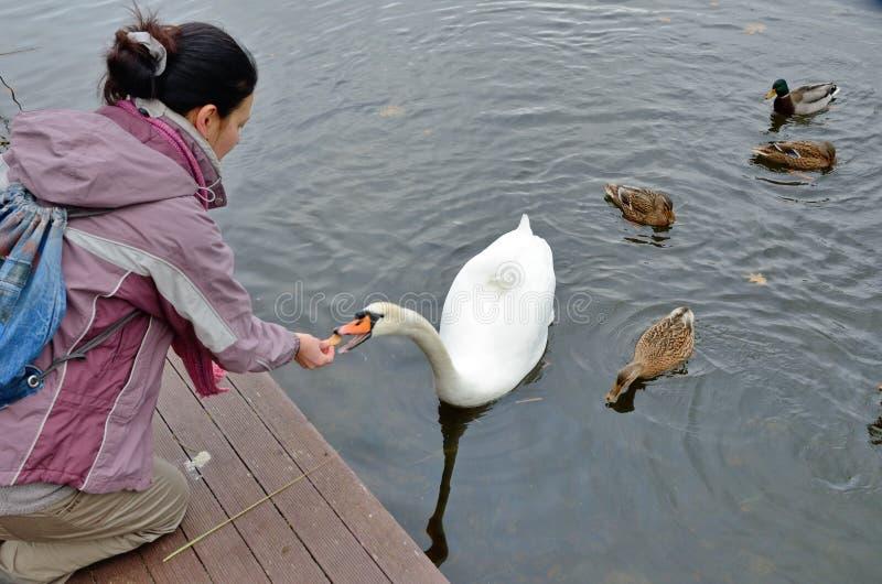 Karmić łabędź i niektóre kaczek w wodzie zdjęcie stock