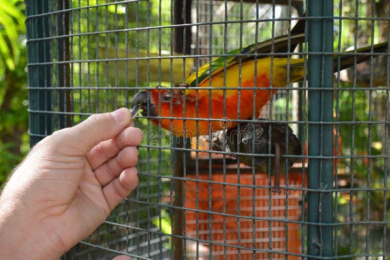 Karmić egzotycznej barwionej papugi z rękami przez ptasiej klatki Pomarańczowa papuga je słonecznikowego ziarna od ręki mężczyzna zdjęcie stock