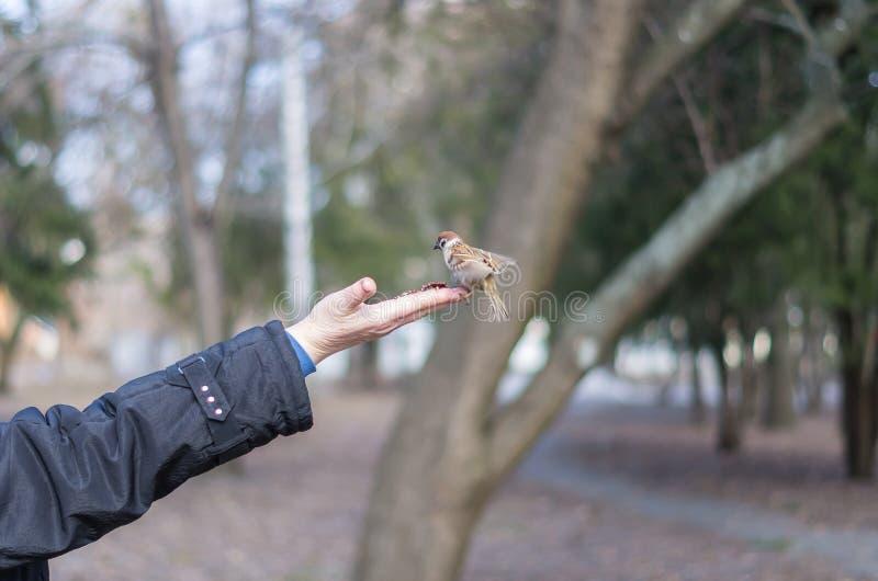 Karmić wróbla z hazelnuts od palmy zdjęcie royalty free