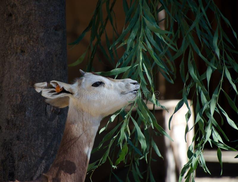 Download Karmić Muntjac W Safari Parku Zdjęcie Stock - Obraz złożonej z zwierzę, target120: 106921948