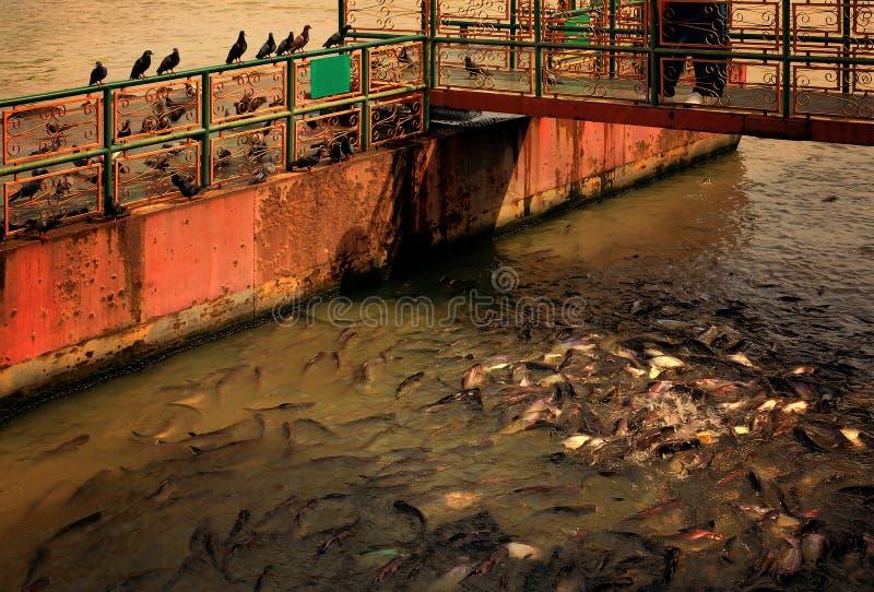Karmi ryba i ptaki obraz stock