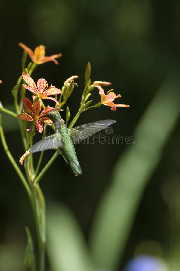 Karminroter Throated Kolibri lizenzfreies stockbild