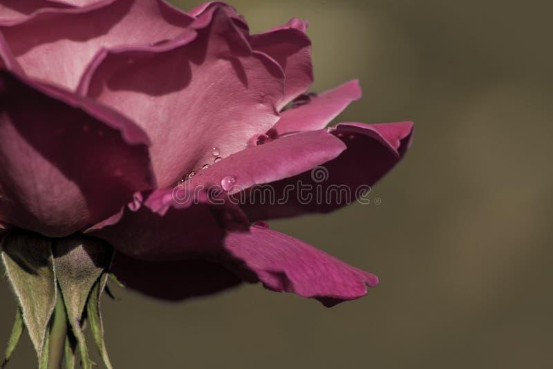 Karmosinröd röd ros på mörk barcground arkivfoto