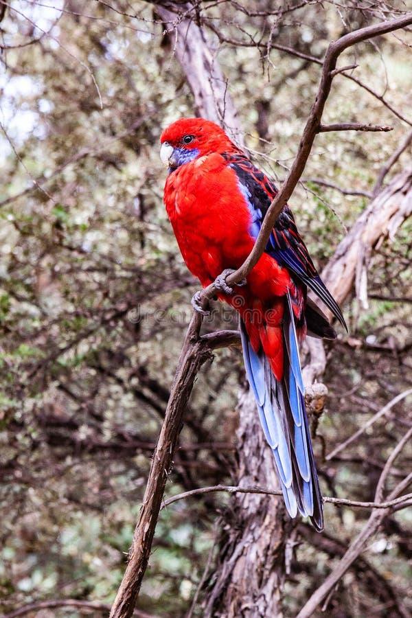 Karmosinröd Rosella lös papegoja royaltyfria bilder
