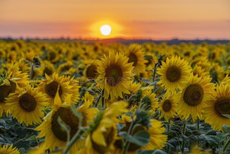 Karmosinröd solnedgång över fältet av att blomma solrosen arkivfoto