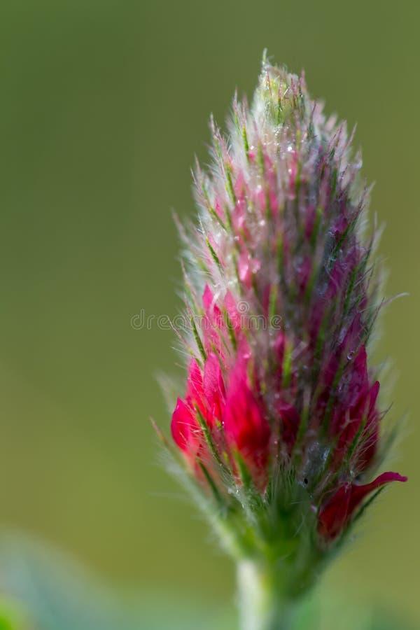 Karmosinröd växt av släktet Trifolium 3 royaltyfri bild