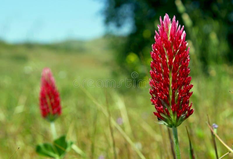 Karmosinröd växt av släktet Trifolium eller italiensk växt av släktet Trifolium arkivfoto