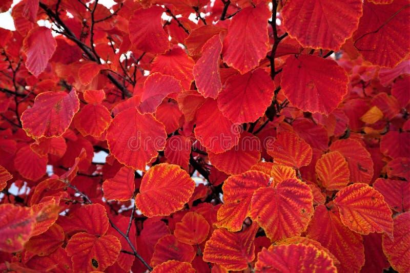 Karmosinröda orange rimmed sidor på höstbuske royaltyfri fotografi
