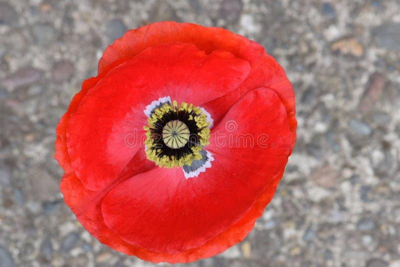 Karmosinröda röda Flanders Mandala Peace Poppy 02 arkivbild