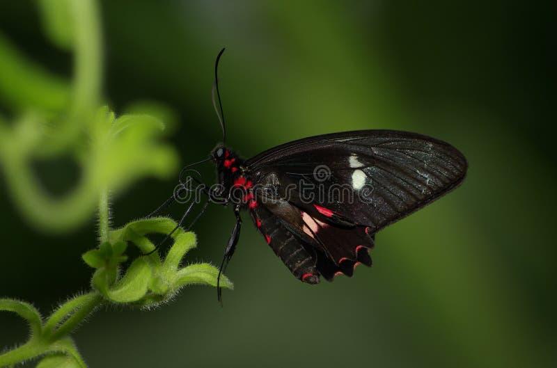Karmosinröda Rose Butterfly arkivfoto