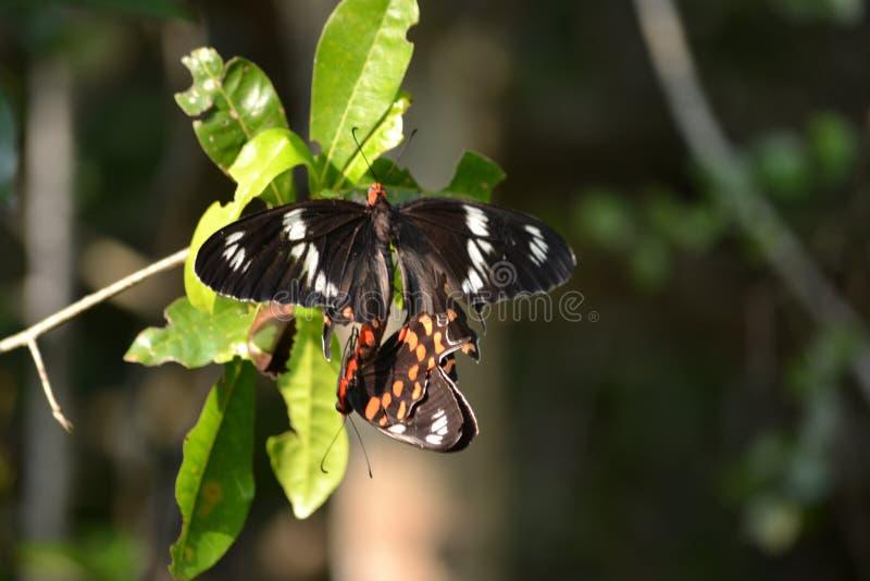 Karmosinröda Rose Butterfly att att föda upp art för ett tag tabellen arkivfoto