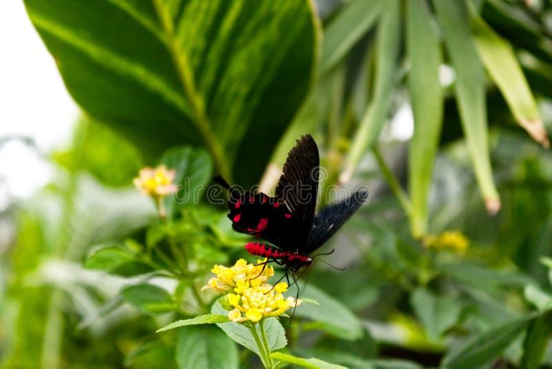 Karmosinröda Rose Butterfly Pachliopta tyranniserar royaltyfria foton