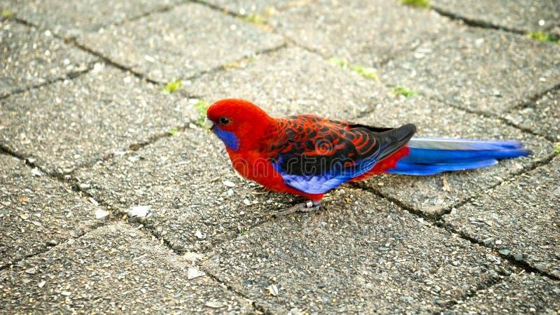 Karmosinröda Rosella Parrot arkivfoto
