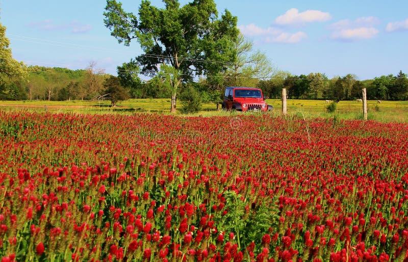 Karmosinröda växter av släktet Trifolium och röd jeep fotografering för bildbyråer