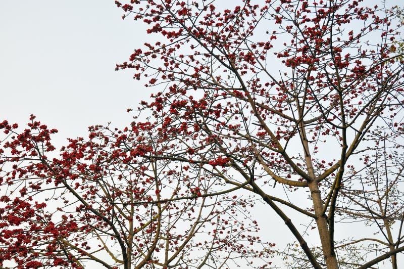 Karmozijnrode De Kapokbloemen Van De Lente Stock Foto