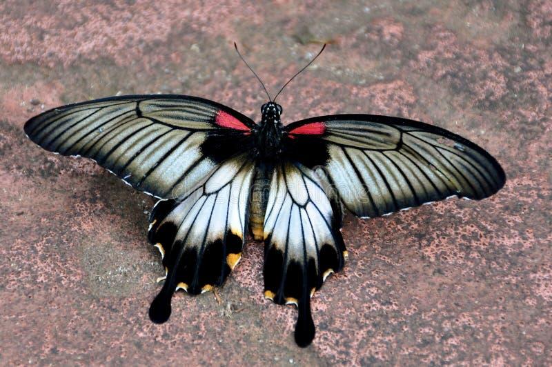 Karmozijnrode Mormoonse Vlinder, rumanzoria Papillio stock foto