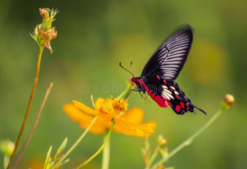 Karmozijnrood nam vlindermacro toe royalty-vrije stock fotografie