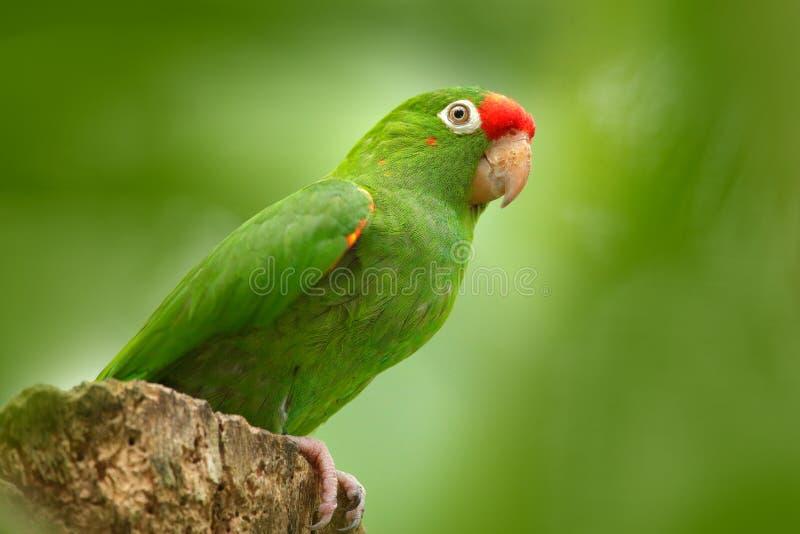 Karmozijnrood-uitgezien op Parkiet, Aratinga-funschi, portret van lichtgroene papegaai met rood hoofd, Costa Rica Portret van vog stock afbeeldingen