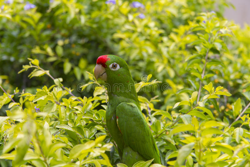 Karmozijnrood-uitgezien op Parkiet in Costa Rica royalty-vrije stock afbeelding