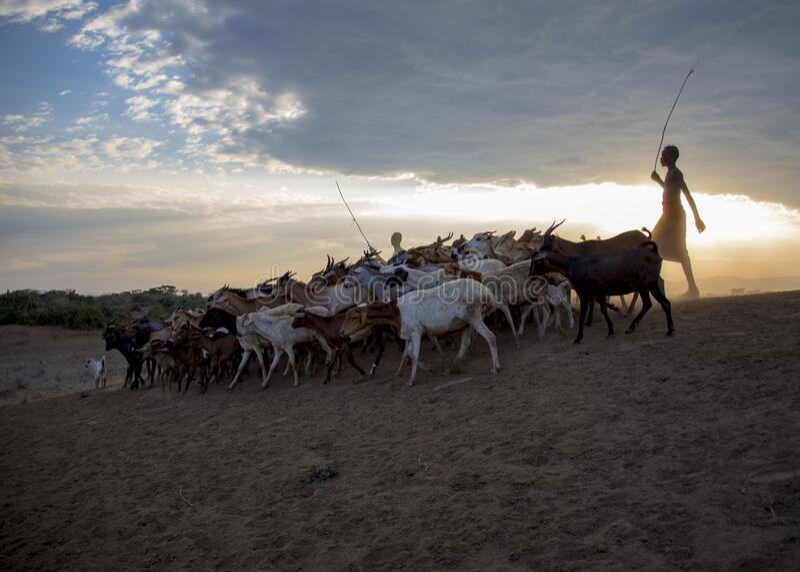 Karo tribe, Omo Valley, Ethiopia, October 2018 Unidentified men from Karo tribe herding goats in sunrise stock photography