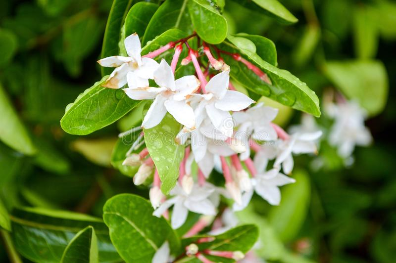 karonda Blume stockfoto