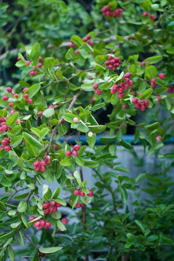 Karonda ou Carunda frutificam conjunto com folhas verdes fotografia de stock