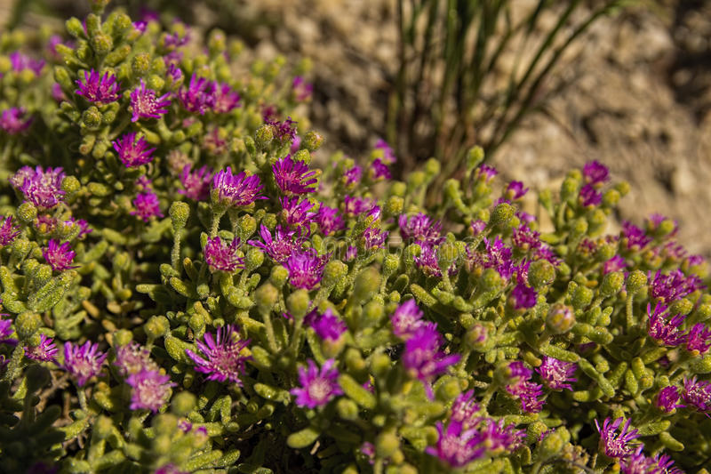 Karoo λουλουδιών Vygie succulent στοκ εικόνες με δικαίωμα ελεύθερης χρήσης