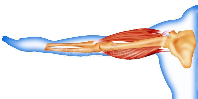 Karosserienmuskeln und -knochen stock abbildung