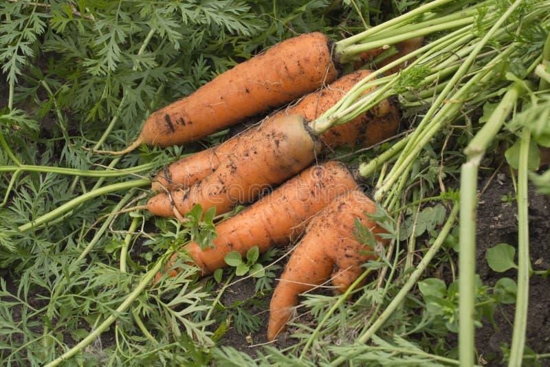 Karotten aus den Grund lizenzfreie stockfotografie