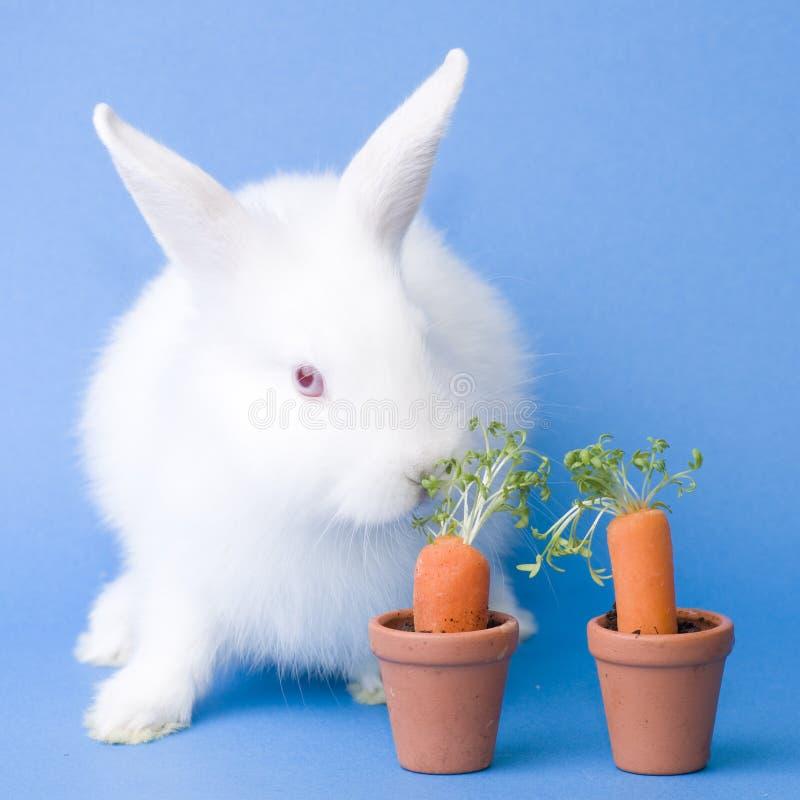 Karotten und Schätzchenkaninchen stockfotografie