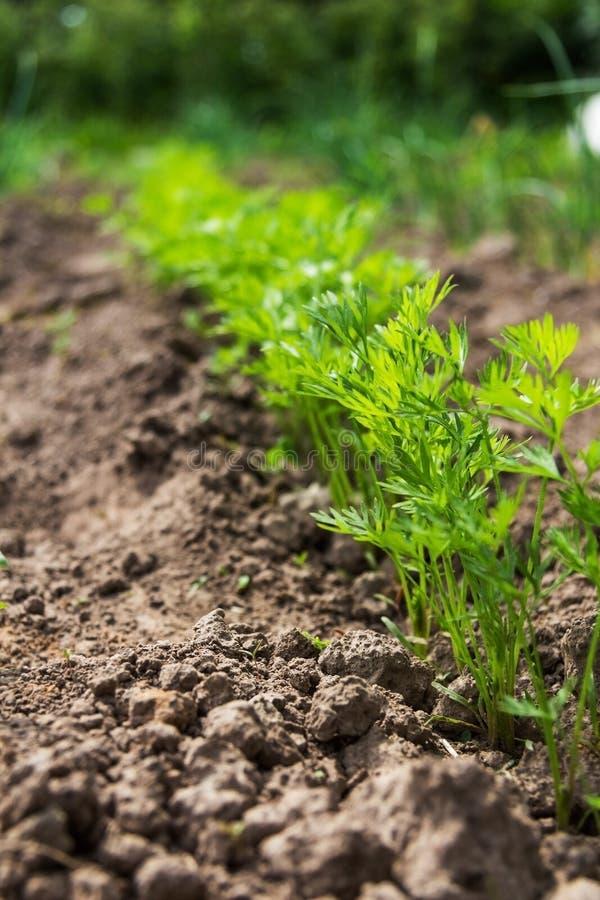 Karottenanlage im Garten lizenzfreie stockbilder