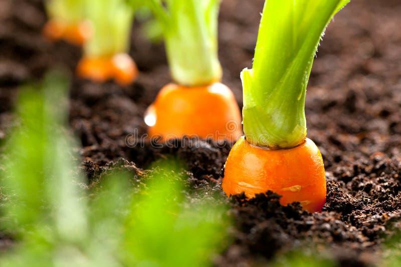 Karottengemüse wächst im Garten im Boden organischen backgro stockfotografie