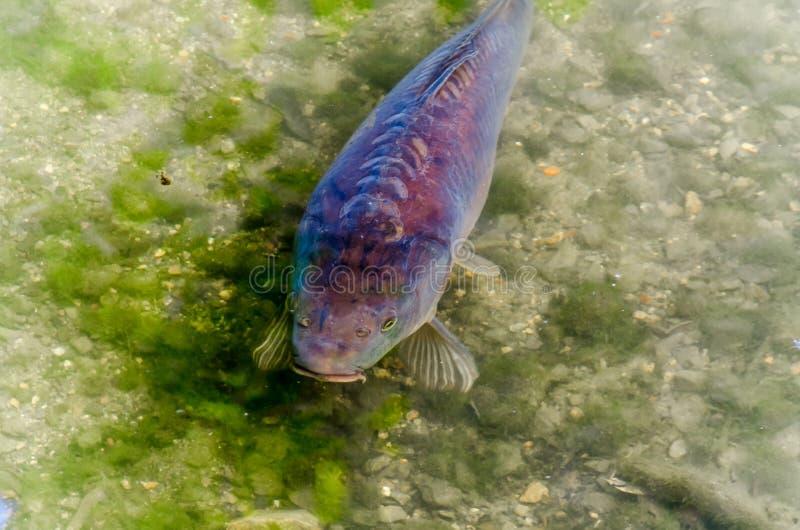 Karp damm, fisk, Koy arkivbild