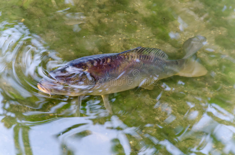 Karp damm, fisk, Koy royaltyfri bild