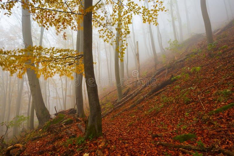 Karpacki bukowy las, Sistani fotografia royalty free