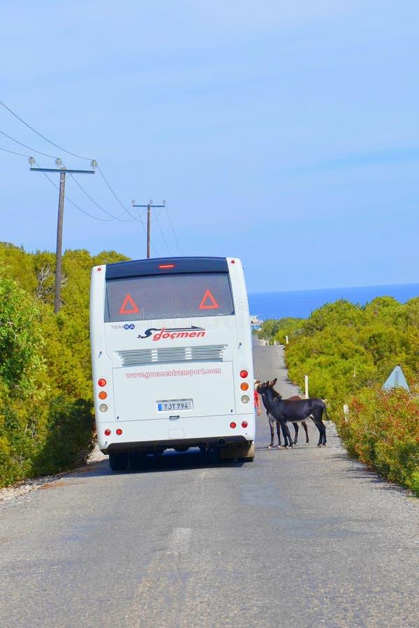 Karpas półwysep Turecki Północny Cypr, Oct, - 3rd 2018: Dwa dzikiego osła stoi na drodze turystycznym autobusem Turyści mogą obrazy royalty free