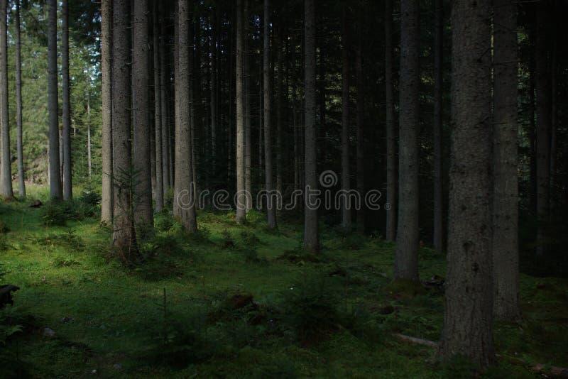 Karpatenwald stockbild