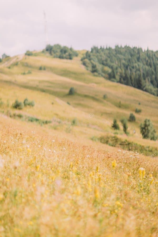 Karpatisch heuvelslandschap met gele weide bij voorgrond en ver pijnboombos op achtergrond royalty-vrije stock afbeelding