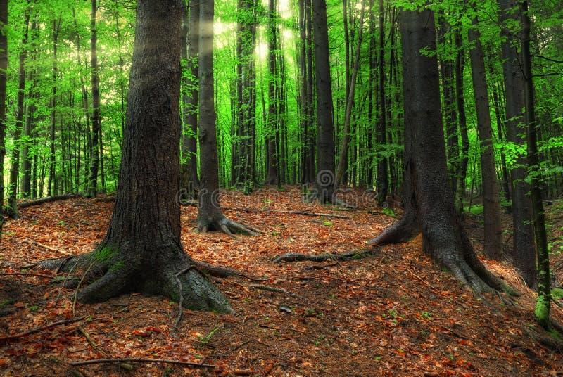 Karpatische bos en zonstralen royalty-vrije stock foto's