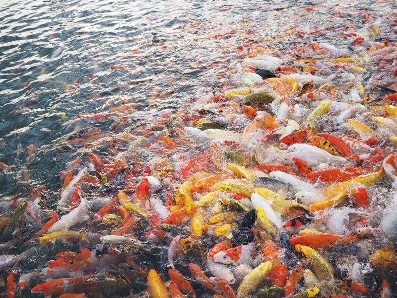 Karper die in vijver zwemmen stock foto's