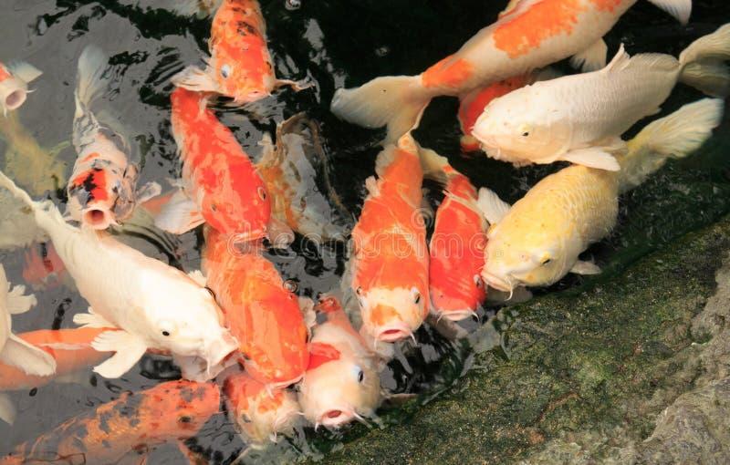KARPER fishs stock foto's